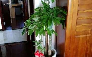 发财树土种上青苔 透气性不好吗
