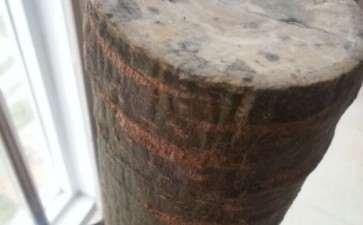发财树下山桩没有芽眼 还能发芽重生吗