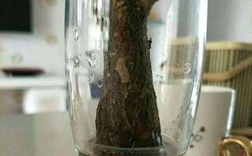 发财树根部腐烂 怎样可以救活啊 图片