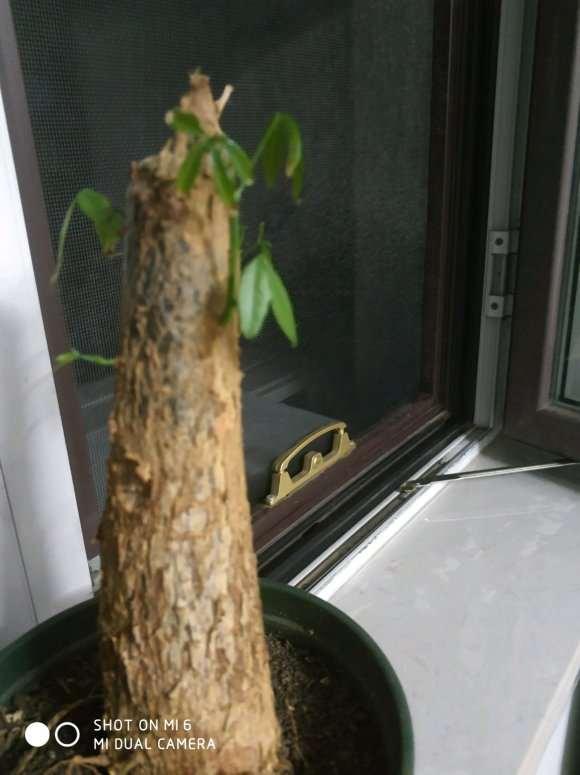 为什么发财树发芽后树叶下垂