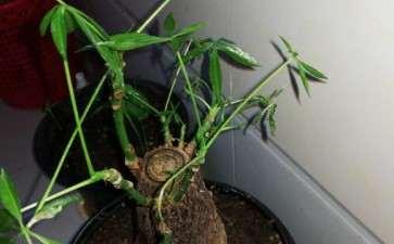 发财树的新芽长不大 而且蔫掉 怎么办