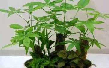发财树可以用养兰草用的颗粒土 图片