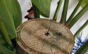 发财树树干中间有孔 怎么办 图片