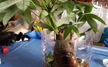 发财树怎样施肥 用磷酸二氢钾 可以吗