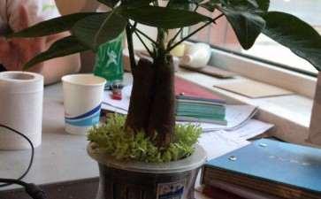发财树用速效氮肥 可以吗 图片