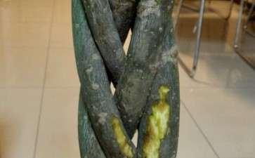发财树的树皮有液体 怎么办 图片