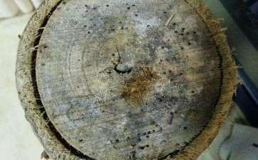 发财树树枝掰光 有点发霉 怎么办 图片
