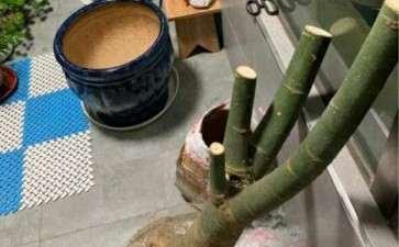 发财树下山桩 土看起来不透气吗 图片