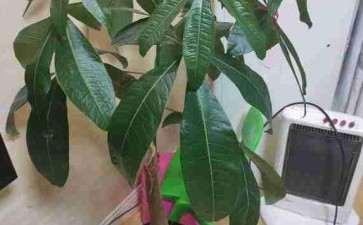 这个独杆发财树怎么办 1年也不发芽
