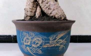 给发财树换了1个紫砂盆 怎么办 图片