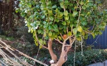 白茶树下山桩就是来芽 也是假活吗