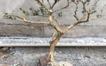 黄杨下山桩可以用田园土和煤渣栽吗