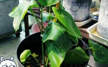 看我的龟背竹盆景是怎么成长的 图片