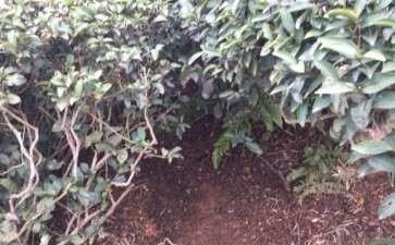茶叶腐烂土可以种植金弹子下山桩吗