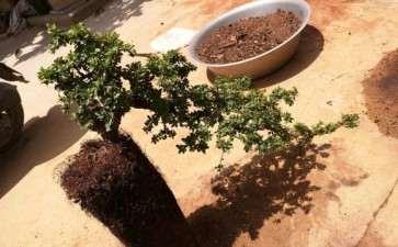 铁马鞭盆景怎么换土修根上盆的方法