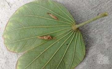 羊蹄甲下山桩叶子背面有虫子 怎么办