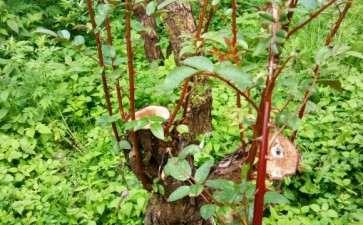 2个月的山木香老桩下山桩发芽了 可以吗
