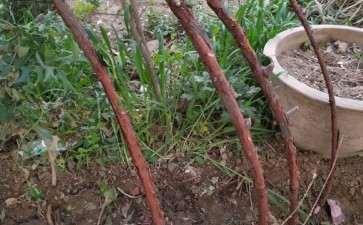 2个月的山木香下山桩老桩 停止生长了