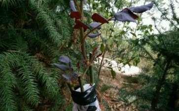 几颗山木香下山桩嫁接月季 没想到都活了