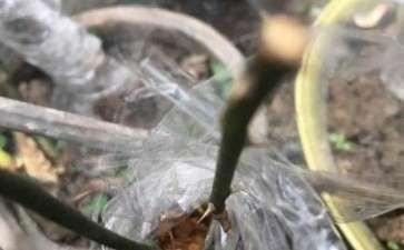 山木香下山桩可以嫁接那几个月季品种