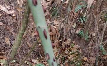 这是山木香下山桩 还是蔷薇 图片