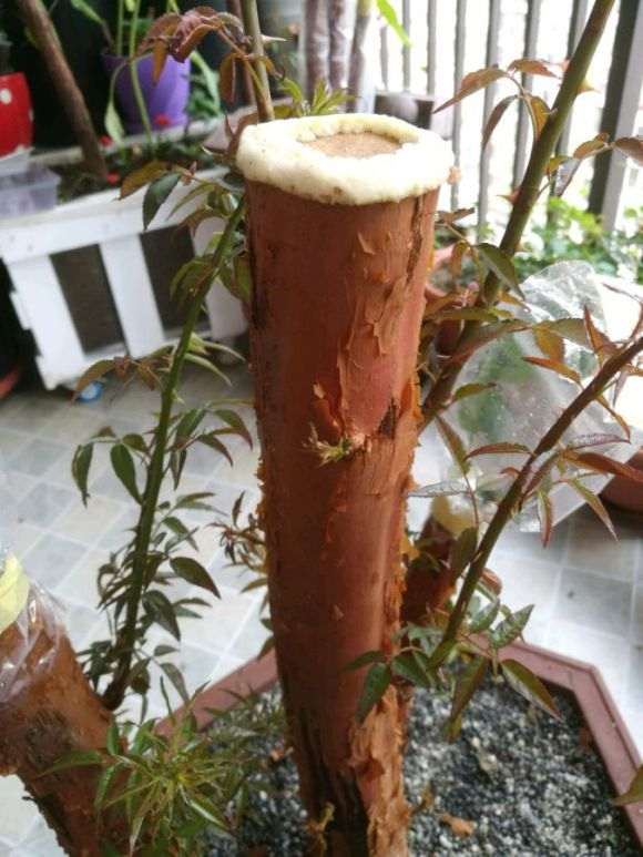 5cm大直径山木香下山桩扦插怎么成活