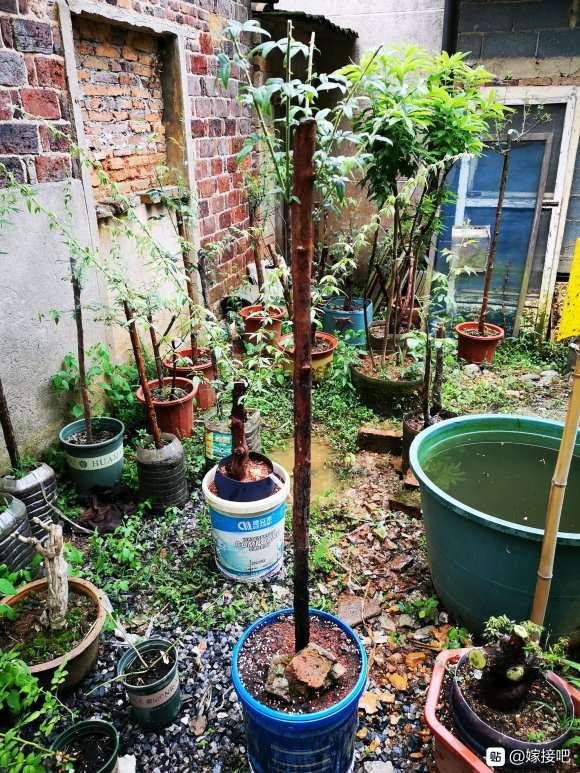 山木香下山桩怎么移栽上盆的方法