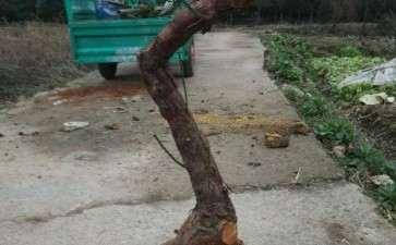怎样缠膜栽活无须根的山木香下山桩