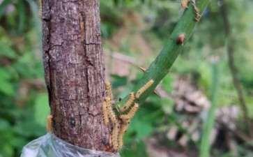 山木香下山桩接的 叶子全干完 怎么办