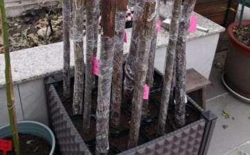 杭州111月 扦插嫁接的山木香下山桩