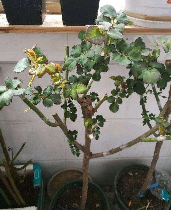 刚刚挖的蔷薇下山桩 冒芽了 怎么样