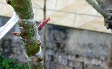蔷薇下山桩老桩先这样养 可以吗 图片