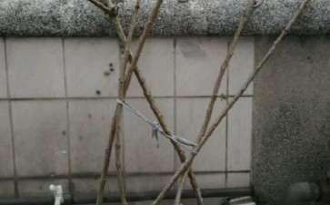 蔷薇下山桩 杆不粗 但比较直 图片