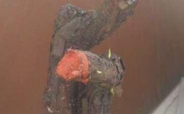 准备嫁接用的蔷薇下山桩发芽了 图片
