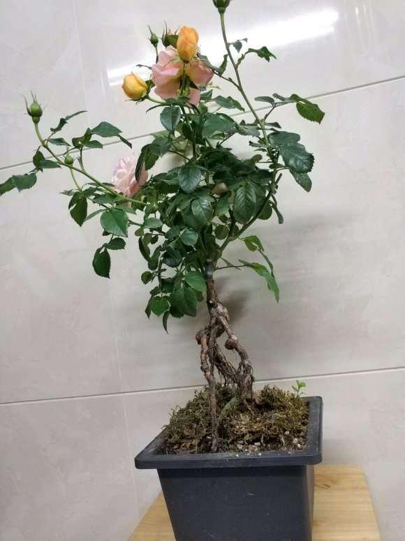蔷薇下山桩嫁接月季 冬天还长好多花苞