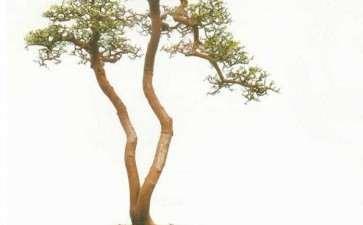树桩盆景的2个因素方面的规律与原则