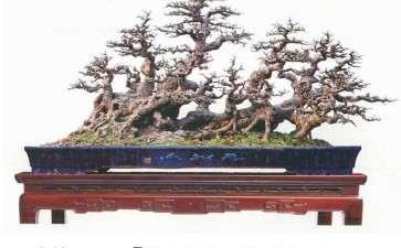 图解 韩学年教你怎么制作榕树丛林盆景