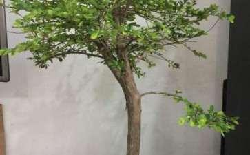 种了3年山格木下山桩 长得很慢 图片