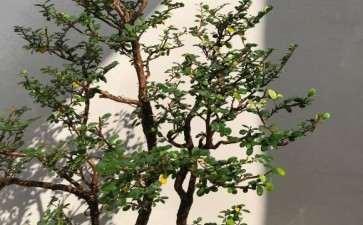 福建山格木盆景 冬天叶子快掉光了 图片