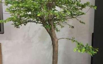 为什么山格木下山桩 长得很慢 图片