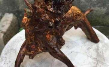 这个黄牛木下山桩 死了 怎么办 图片