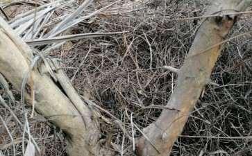 这是不是黄牛木下山桩 叶子很像 图片