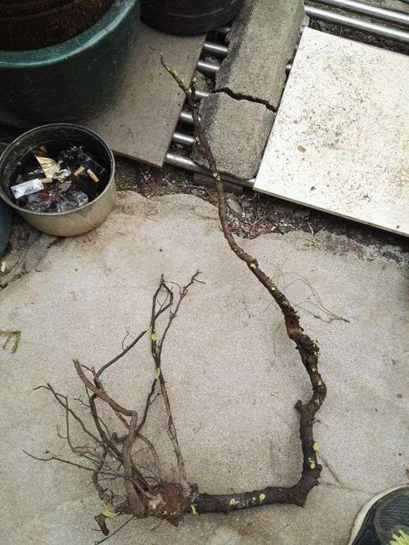 云南铁马鞭下山桩怎么用腐叶土和沙子的方法