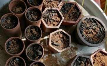 铁马鞭下山桩生桩 从种子种起 图片
