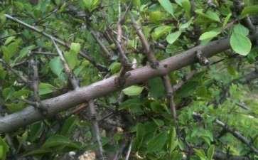 全国小叶鼠李下山桩的分布有哪些