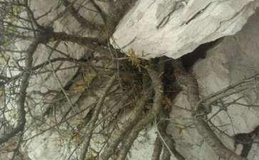 大叶鼠李下山桩怎么挖 什么时候挖