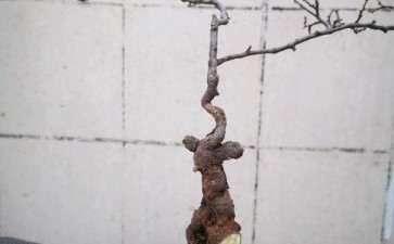 小叶鼠李下山桩是秋季挖 还是春天挖