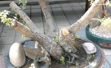 麻梨疙瘩小叶鼠李下山桩活了吗