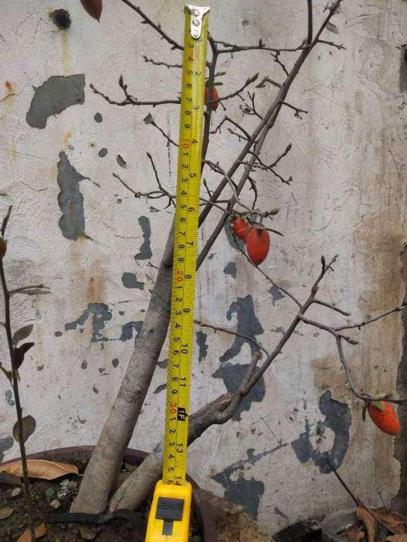 老鸦柿下山桩生桩枝条枯萎