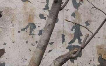 老鸦柿下山桩生桩枝条枯萎 要套袋吗